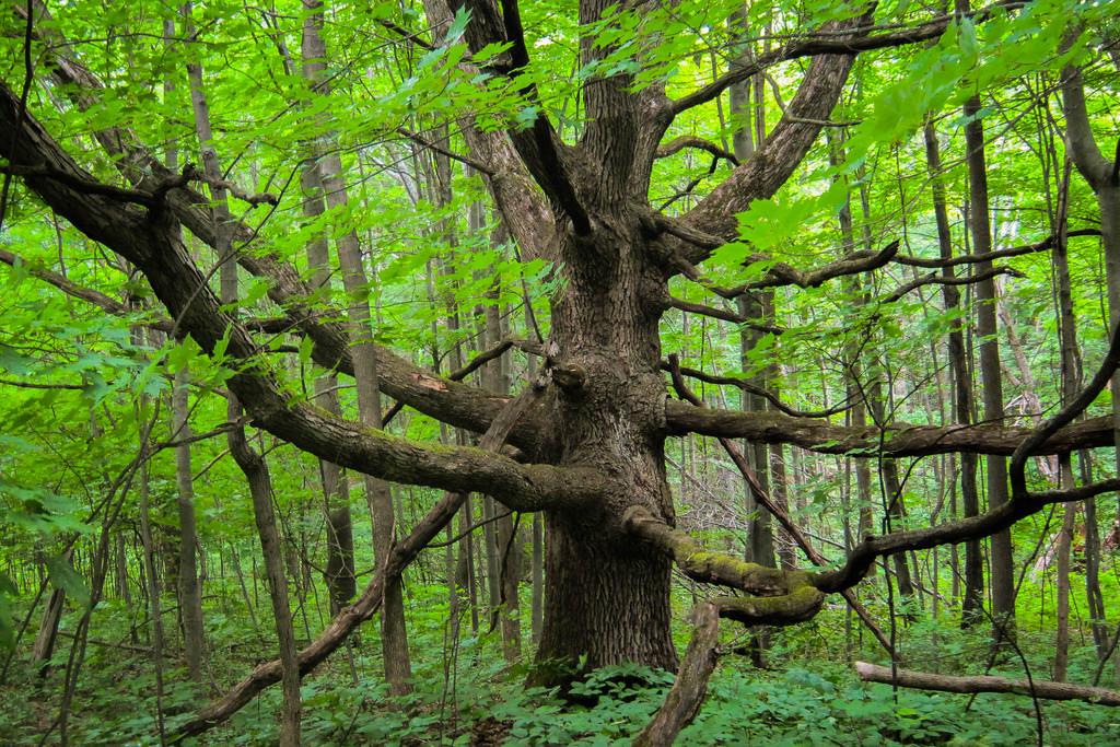 big-giant-tree-color