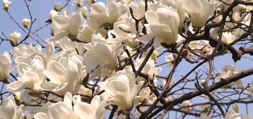 Seoul, Korea: Changgyeonggung Palace, Spring Flowers