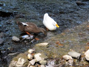Hongjecheon Stream, Ducks, Wildlife