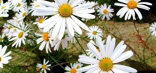 World Traditional Medicine Fair & Festival, Daisies, Flower