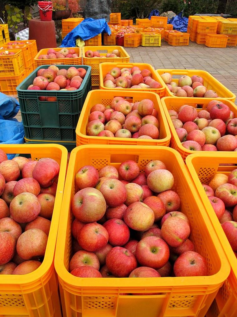 Cheongsong Apple Picking, Apple Festival, Cheongsong, Korea