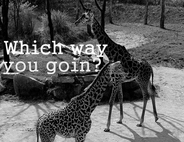 Giraffes: Which way you goin?