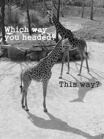 Giraffes: Which way you headed?