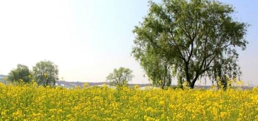 Mapo-gu, Seoul, Korea: Nanji Han River Park, Yellow Flowers