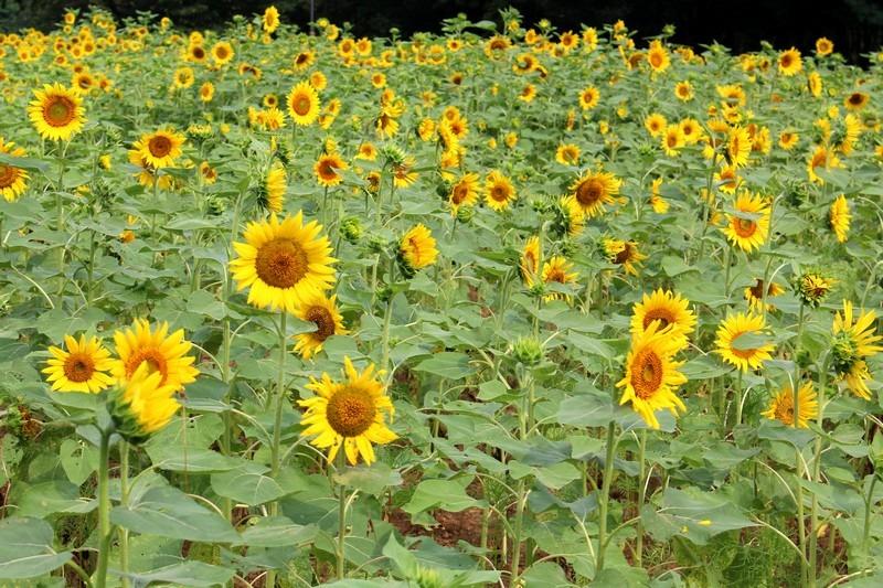 Sunflowers at Nanji Stream Park, Seoul, Korea