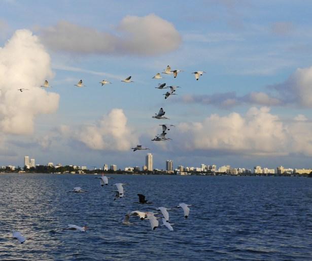 A flock of ibis.