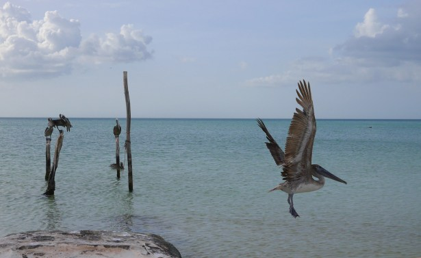 The pelicans are some of the sassiest members of this beach community.