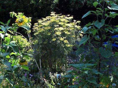 480-fennel-IMG_4765