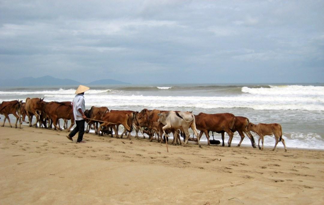 Cows on Cu Dai Beach Hoi An, Vietnam