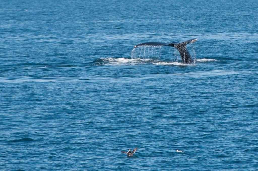 Whale Tail Fin Diving