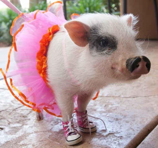 Top 10 Pictures Of Pigs In Boots Amp Shoes