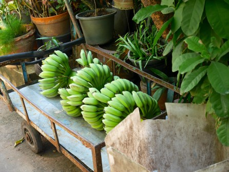 Fresh Bananas near Santa Cruz Church on the Chao Phraya River's western bank in old Thonburi