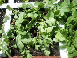 Small Of When To Harvest Radishes