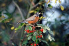 americanrobin