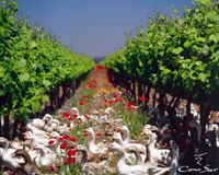 geese in the vineyard