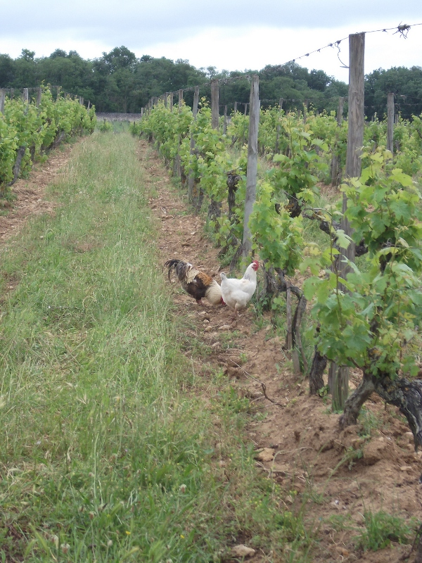 vineyard chickens