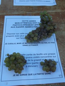 grape picking instructions (in French)