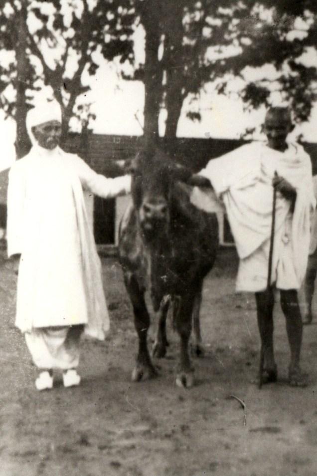 Gandhi and Malaviya with a cow. Credit: ICAR