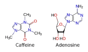 Comparing the structure of caffeine with that of adenosine as it masquerades as the other. Credit: Wikimedia Commons