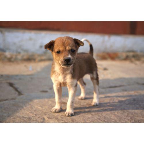 Medium Crop Of Indian Dog Breeds