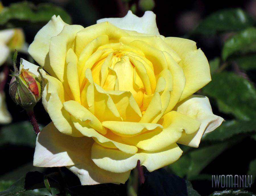 Цветок роза что означает