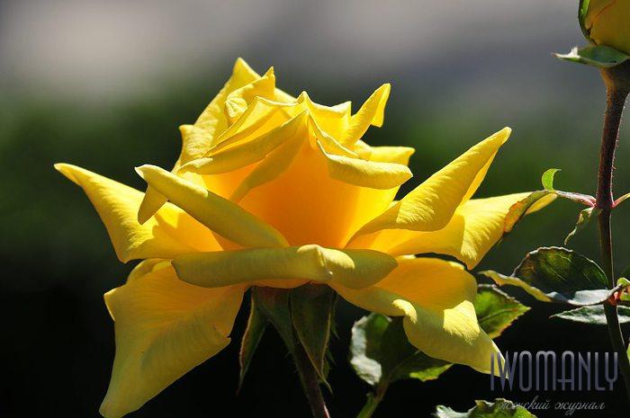 Жёлтые розы символизируют