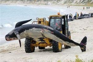 Australia Whale Stranding
