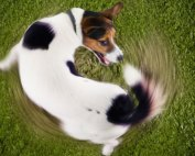 A Dog Chasing Tail
