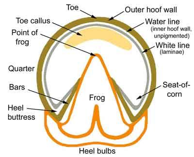 Hoof Anatomy Round Pen Square Horse