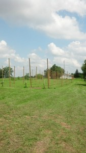 Early hop yard at Buck Creek Hops,