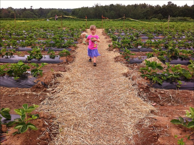 strawberry picking with little kids, eat local