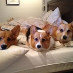 20130403 063942 150x150 Three Corgis videos on fire