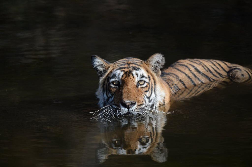 Tiger at Ranthambore. Photo Credits : Karthik Dwarkanath via Flickr under CC by NC-ND 2.0