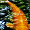 Koi fish swimming.
