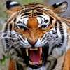 Face of a snarling tiger.