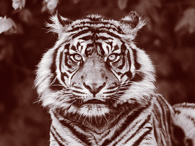 A Sumatran tiger, looking into the camera.