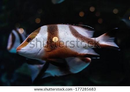Zebra like white and brown striped fish in saltwater aquarium   stock