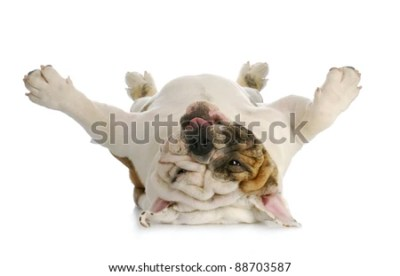 Dog Lying Down Isolated Stock Images, Royalty-Free Images & Vectors | Shutterstock