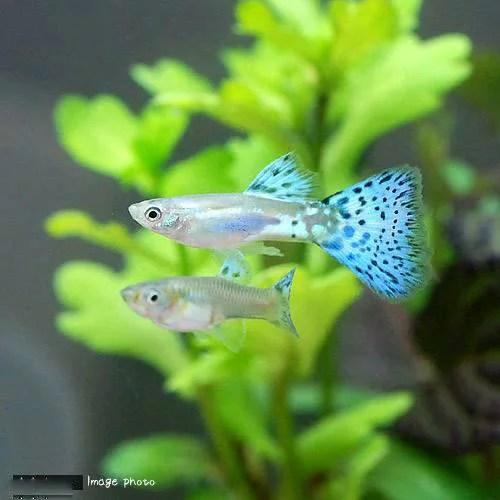 chanet | Rakuten Global Market: Blue grass  (fish) ? Japanese