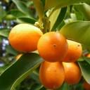 オレンジより、ややミカンに近い香り。タンジェリン (Tangerin)10ml天然100%のエッセンシャルオイル(精油)(手作り石鹸 香水 バスボ..