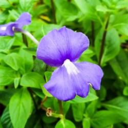 Names purple flowers florist otacanthus caeruleus the name of purple white flower thailand c mightylinksfo