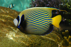 Yellow Black Striped Fish Aquarium Stock Photos, Images, & Pictures