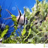 aquarium fish with black stripes - Freshwater Fish with Black Stripes