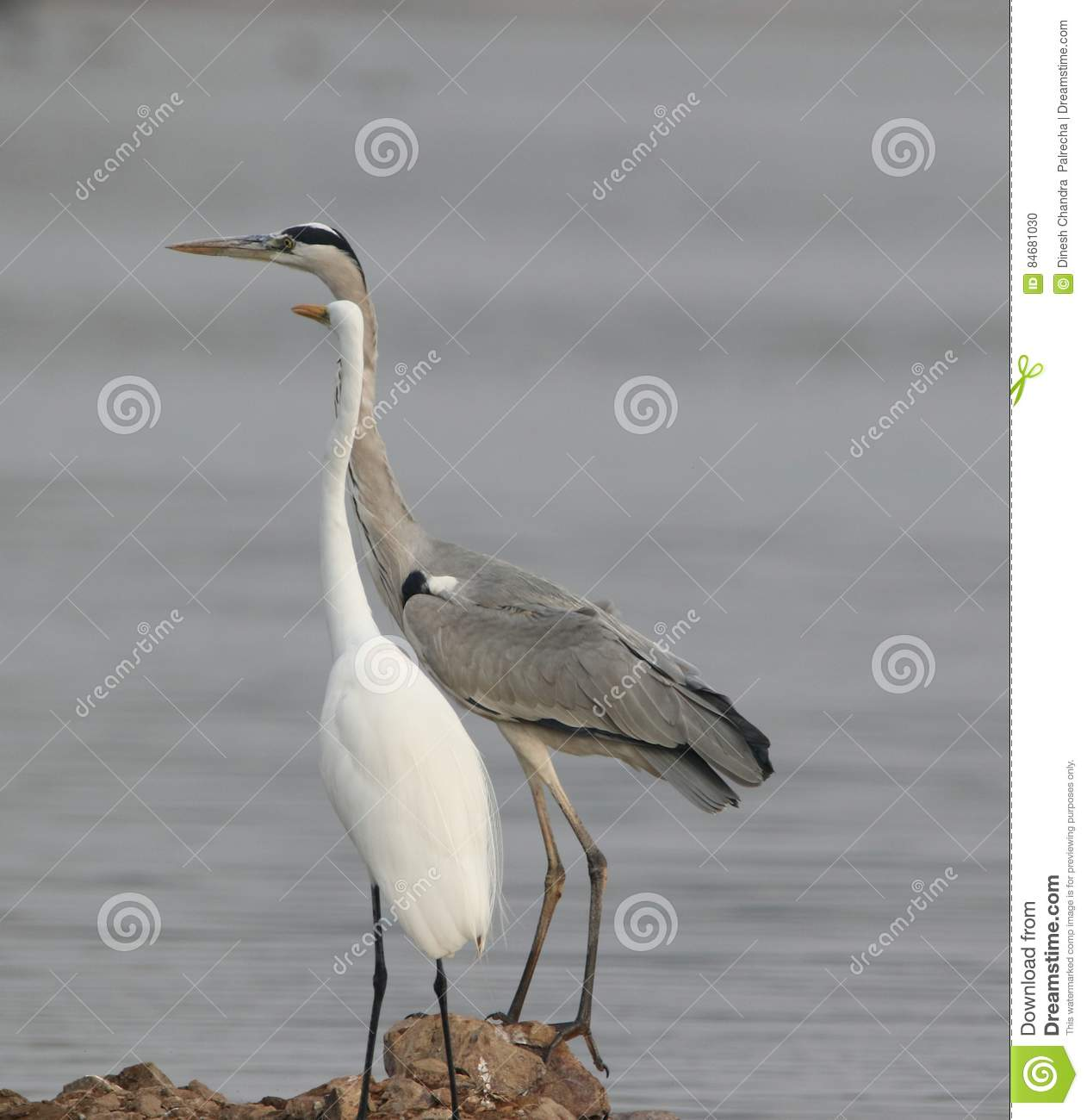 Grey Heron With Great Egret Bird Stock Photo   Image of heron  bank     Download Grey Heron With Great Egret Bird Stock Photo   Image of heron   bank