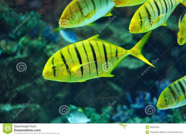 tropical fish yellow with black stripes 2016   Fish Tank Maintenance