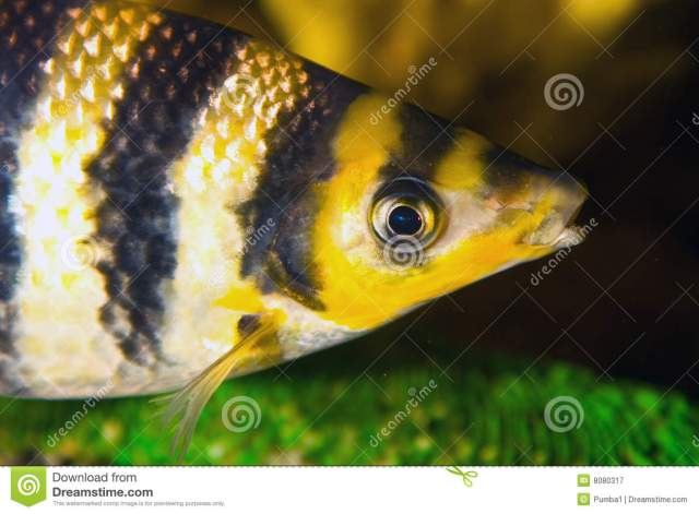 Free Stock Photography: Yellow black striped fish in an aquarium