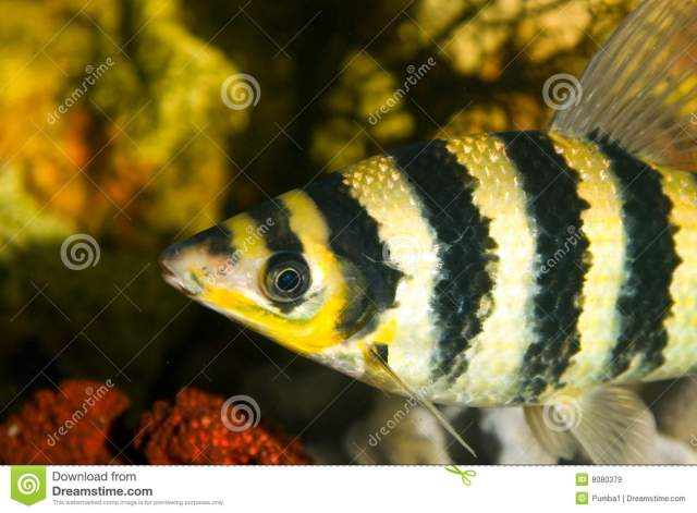 Yellow Black Striped Fish In An Aquarium Royalty Free Stock Images