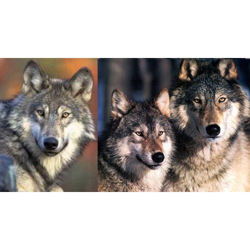 Medium Crop Of Wolf Size Comparison
