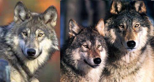 Medium Of Wolf Size Comparison