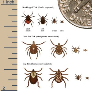 Tick Control Company - Size of tick after feeding